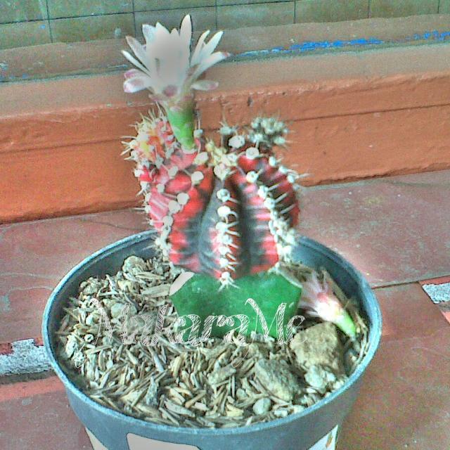 Apakah Semua Jenis Kaktus Berbunga Makarame